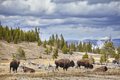 Herd of American bison (Bison bison) grazing in Yellowstone Nati