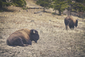 Retro toned American bison in Yellowstone National Park, USA.