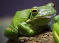 Green Tree Frog - PhotoDune Item for Sale