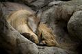 Mountain Goat Sleeping - PhotoDune Item for Sale