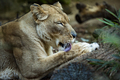 Relaxed Lioness Licking Paw - PhotoDune Item for Sale