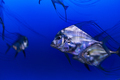 Schooling Diamond Trevally - PhotoDune Item for Sale
