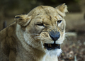 Snarling Lioness Looks Toward Camera - PhotoDune Item for Sale