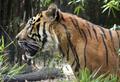 Sumatran Tiger close up in profile - PhotoDune Item for Sale