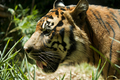 Sumatran Tiger Profile - PhotoDune Item for Sale