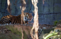 Tiger laying down and looking to right of frame - PhotoDune Item for Sale