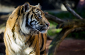 Tiger looking to right of frame - PhotoDune Item for Sale