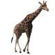 Giraffe Walking - VideoHive Item for Sale