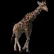 Giraffe Walking - VideoHive Item for Sale