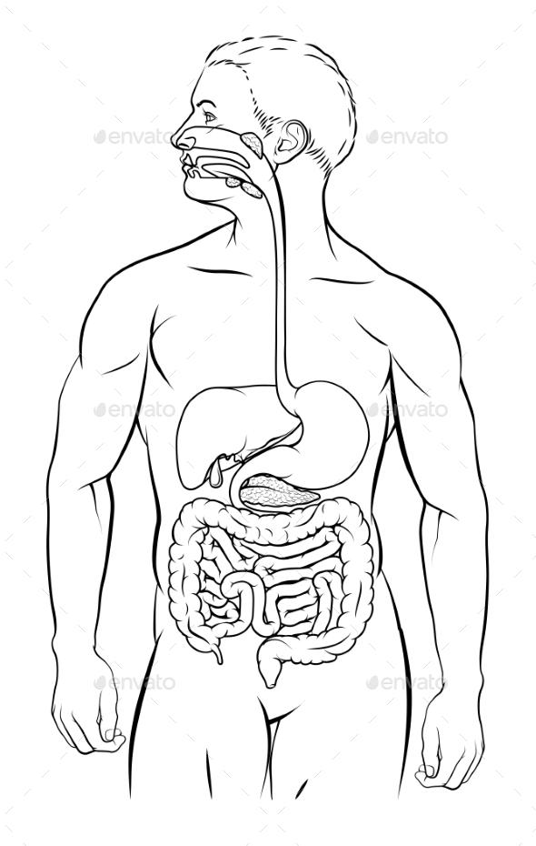 Human Digestive System By Krisdog Graphicriver