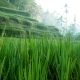 Rice Terrace Field Blowing in the Wind - VideoHive Item for Sale