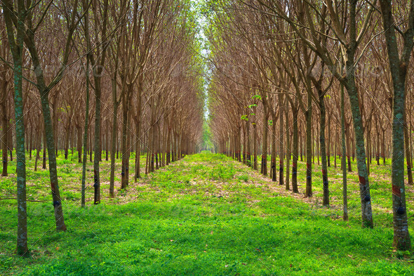 Para rubber tree garden in south of Thailand - Stock Photo - Images