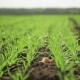 Field With Sprouted Barley - VideoHive Item for Sale