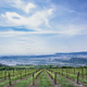 Vineyards - VideoHive Item for Sale