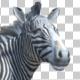 3D Zebra Looking Around