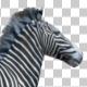 3D Zebra Run Animation