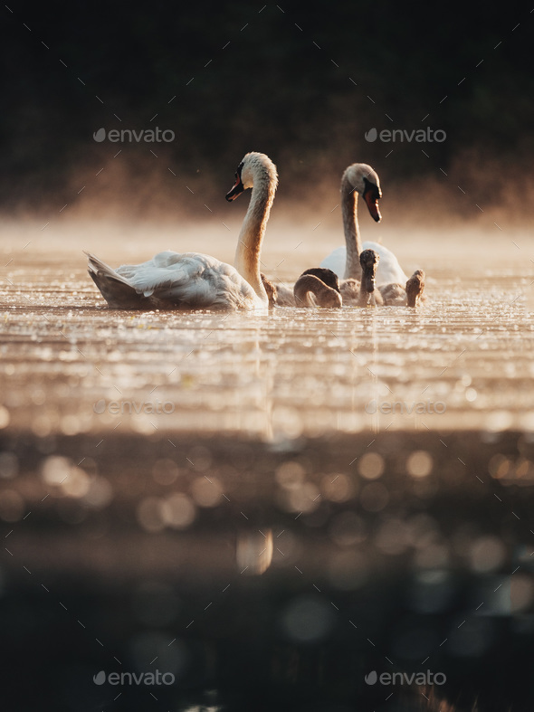 A family of swans - Stock Photo - Images