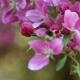 Branch of Pink Sakura Cherry Blossoms