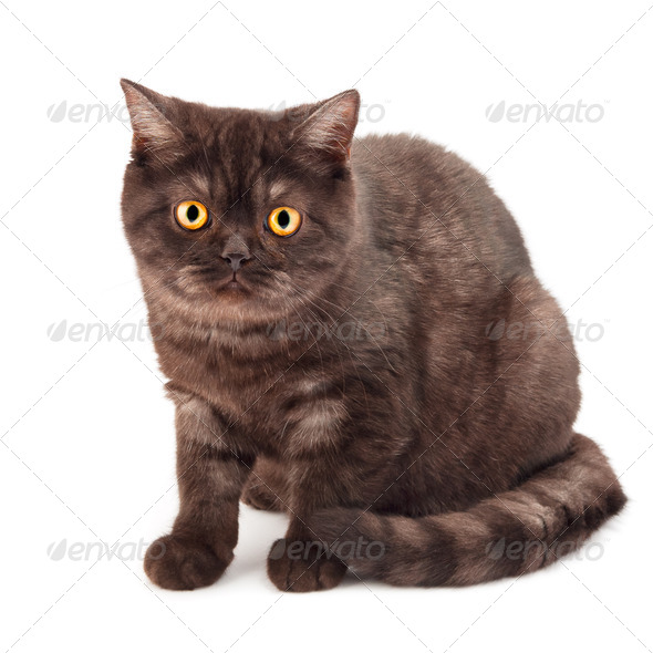 British chocolate cat - Stock Photo - Images