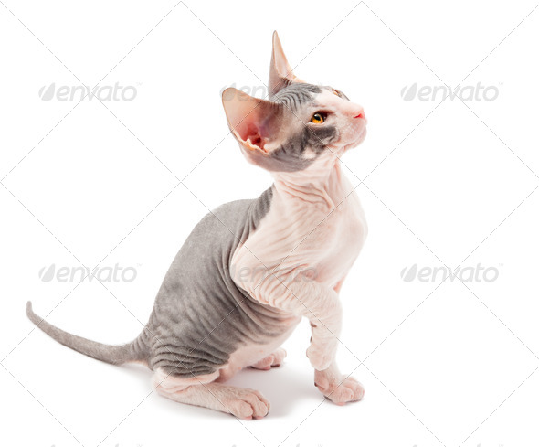 Sphynx kitten - Stock Photo - Images