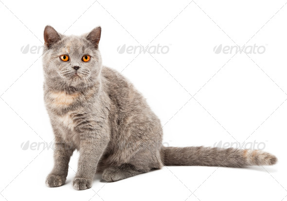 British kitten - Stock Photo - Images