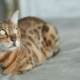 Funny Bengal Cat Lying - VideoHive Item for Sale