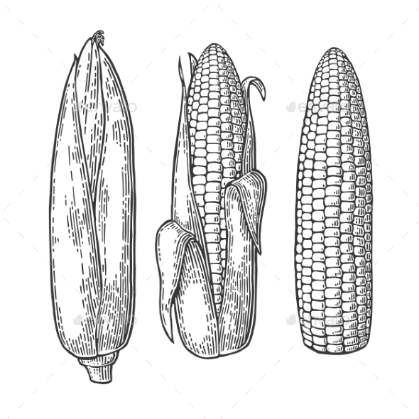 Cob of Corn From the Closed to Cleaned - Food Objects