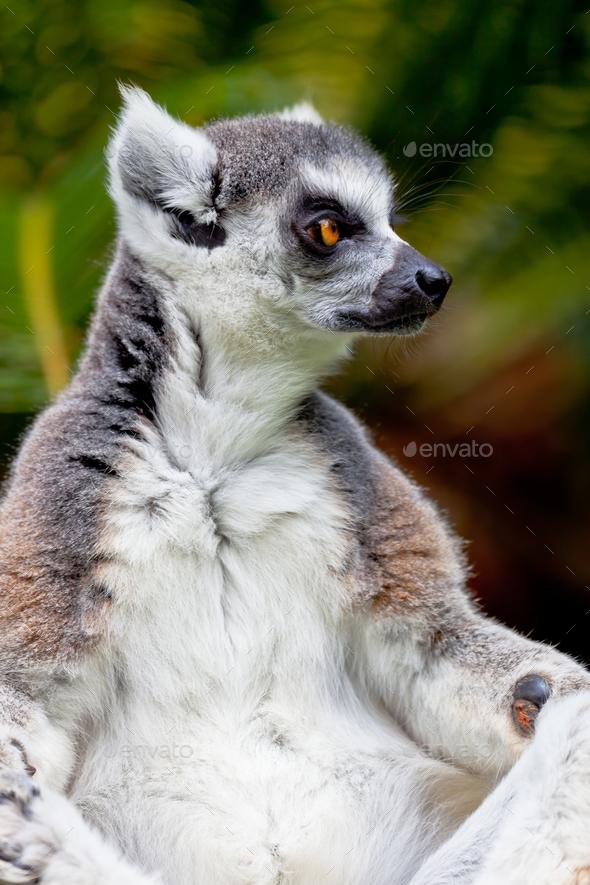 Lemur of ring-shaped tail ,Lemur catta - Stock Photo - Images