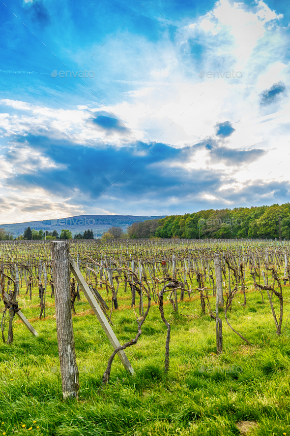 Beautiful grape field - Stock Photo - Images