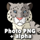 Snow Leopard Stands and Looks Around - VideoHive Item for Sale