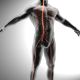 Spinal Nerves - Cauda Equina - VideoHive Item for Sale