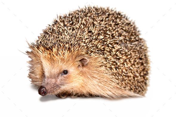 Hedgehog Isolated - Stock Photo - Images