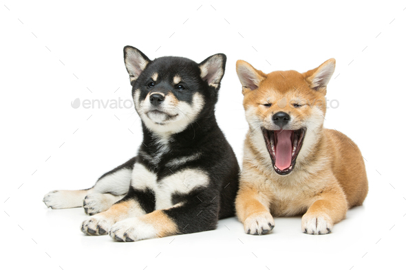 Beautiful shiba inu puppies isolated on white - Stock Photo - Images