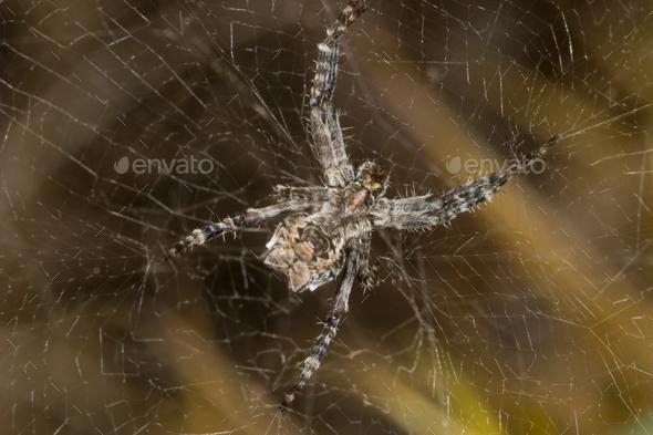 Araña (Cyrtophora citricola) - Spider (Cyrtophora citricola) - Stock Photo - Images