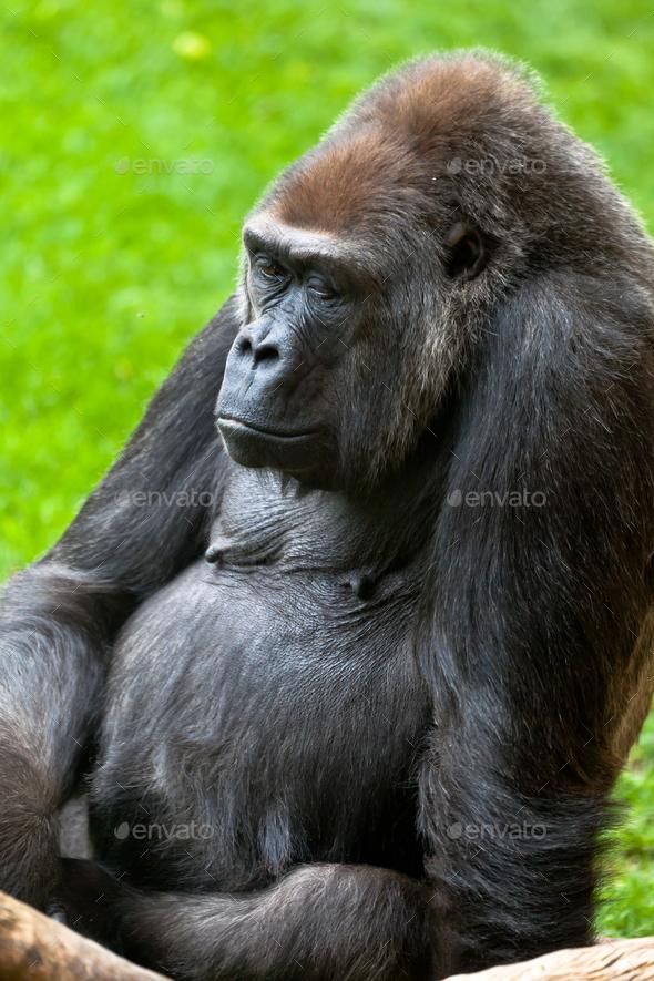 Gorilla of coast,  Gorilla gorilla - Stock Photo - Images
