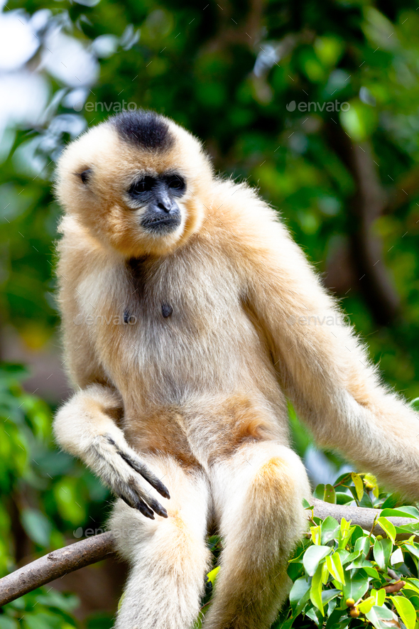 Gibbon of golden cheeks, Nomascus gabriellae - Stock Photo - Images