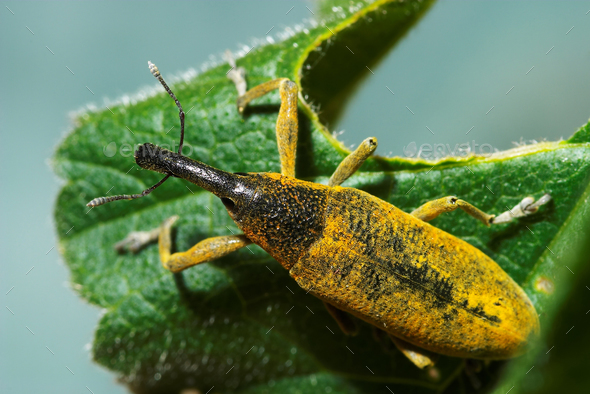 Snout beetle ( Lixus angustatus ) - Stock Photo - Images