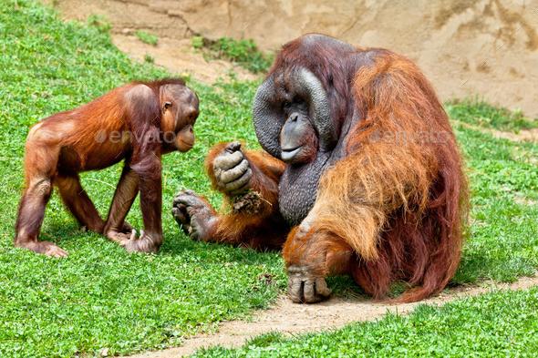 Orangutan of Borneo, Pongo Pygmaeus - Stock Photo - Images