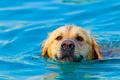 Golden Retriever swimming