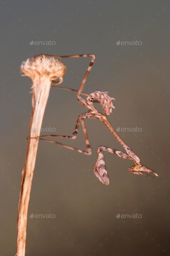 Mantis (Empusa pennata) - Stock Photo - Images