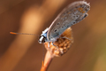 Butterfly (Polymmatus Icarus) - PhotoDune Item for Sale