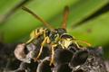 Wasp Polistes bischoffi ( Weyrauch, 1937 ) - PhotoDune Item for Sale