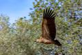 Griffon Vulture, (Gyps fulvus) - PhotoDune Item for Sale