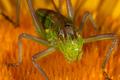 Grasshopper (steropleurus sp) - PhotoDune Item for Sale