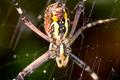 Spider, Argiope bruennichi - PhotoDune Item for Sale
