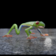 Red Eye Tree Frog - 3DOcean Item for Sale