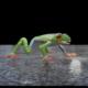 Red Eye Tree Frog - 3DOcean Item for Sale
