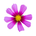 pink cosmos isolated - PhotoDune Item for Sale