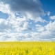 Canola Field. . - VideoHive Item for Sale