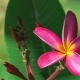 Bright Pink Petals and Stems of Blossom Plumeria Flower.  Footage - VideoHive Item for Sale
